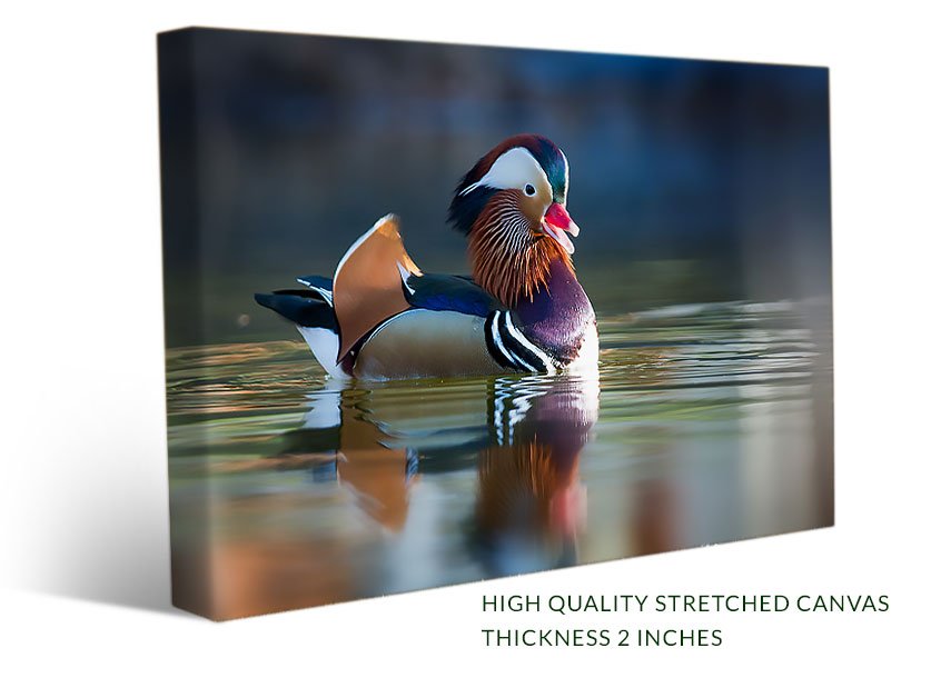 Stretched birds canvas print of a beautiful mandarine duck in the water