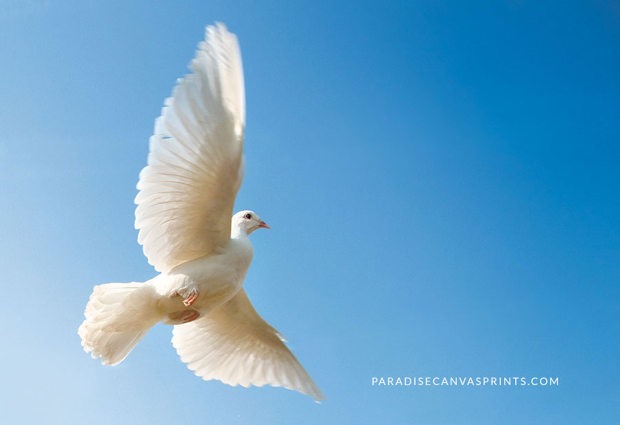 Nature photography by David Sorensen - A photo of a flying white dove