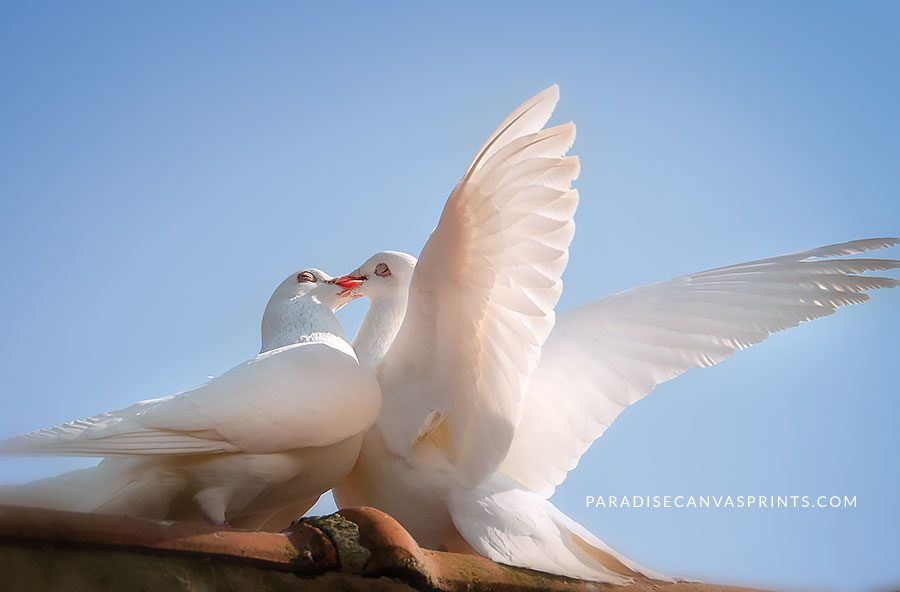 Nature photography of David Sorensen - Two White Doves Kissing