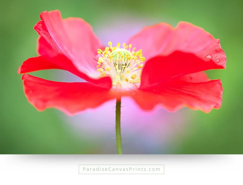 Beautiful flower photo on canvas print - Red poppy on green background