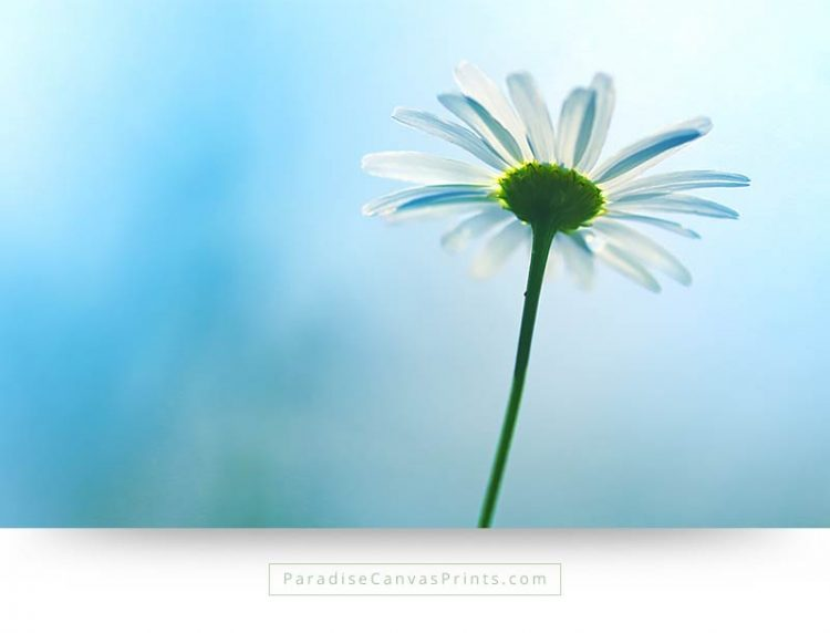Beautiful photo of a daisy flower and blue sky on canvas print