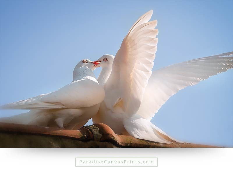 Buy a large birds canvas print of two white doves kissing