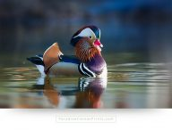 Buy large birds canvas prints of a beautiful mandarine duck