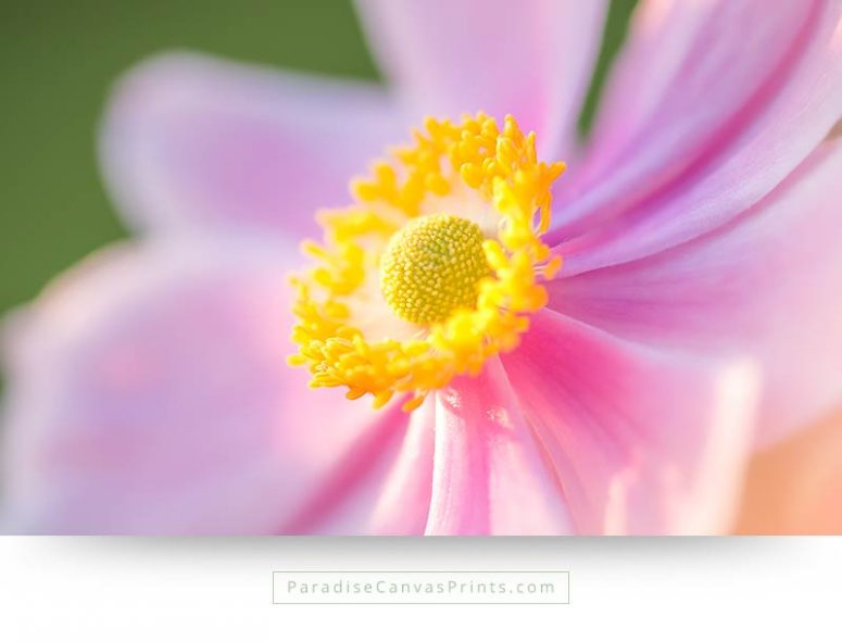 Flower canvas print with a close up photo of a pink anemone