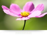 Flower wall decor and canvas print of a blue cosmea