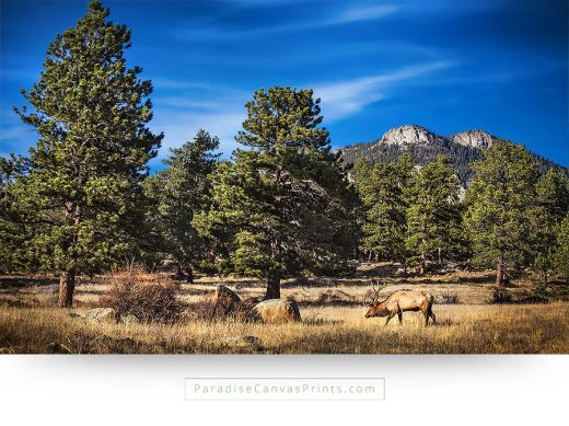 colorado wildlife wall art canvas prints bull elk rocky mountains
