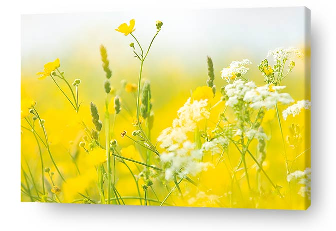 flower canvas prints and wall art - Image of beautiful yellow wildflowers