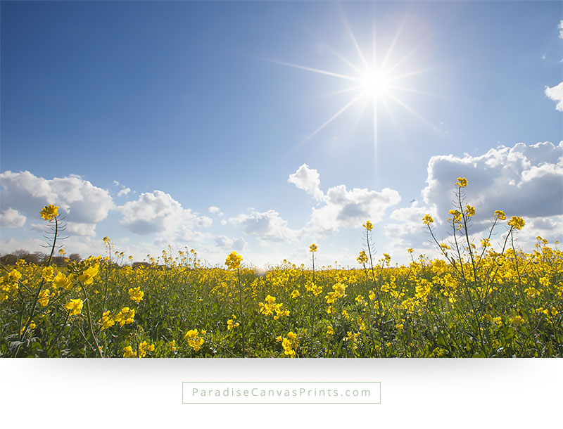 Field of yellow flowers with sun in blue sky canvas print living room wall art field of yellow flowers with sunshine and blue sky mightylinksfo