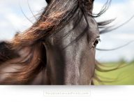 wildlife canvas print of a beautiful horse portrait