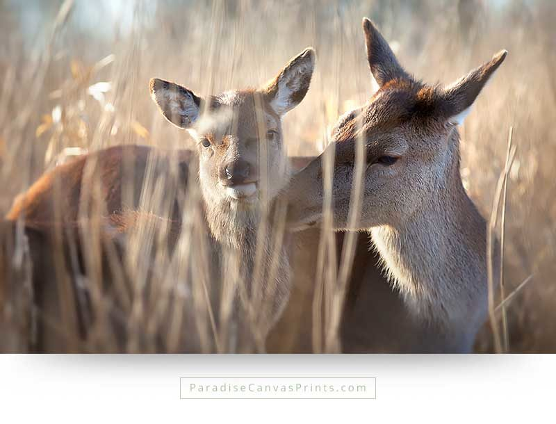 Wildlife canvas print of a deer with her calf