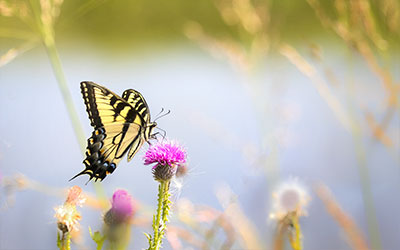 butterfly canvas prints swallowtail meadow