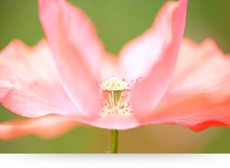 Pink Poppy Flower Close-Up