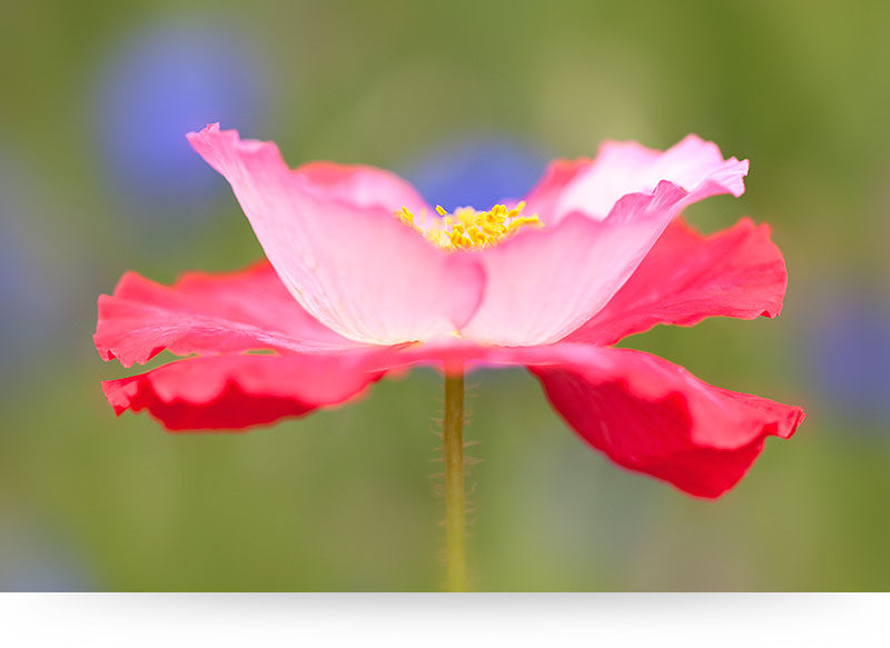 Flower canvas prints bring paradise into your home pink poppy flower mightylinksfo