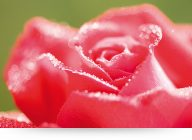 Red Rose With Dewdrops