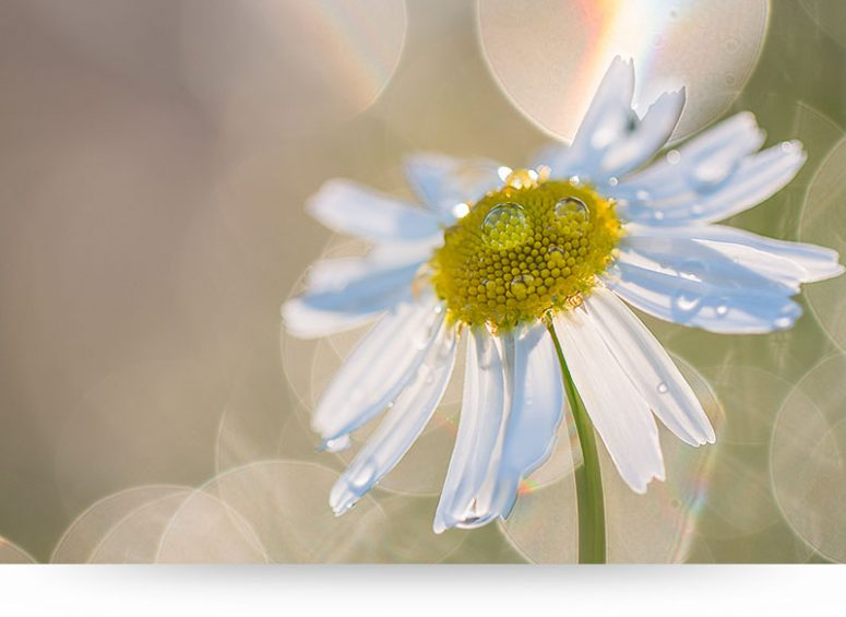 Daisy Flower With Dewdrops