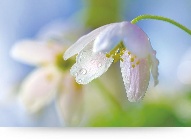 Wood Anemone Flower With Raindrops