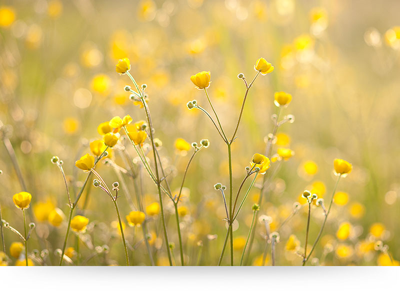 Yellow buttercups in summer meadow canvas print paradise canvas yellow buttercup flowers mightylinksfo