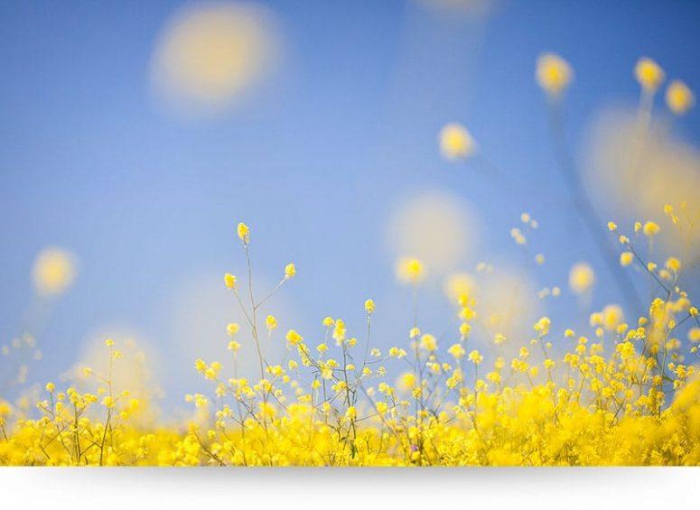 Yellow Rapeseed Flowers