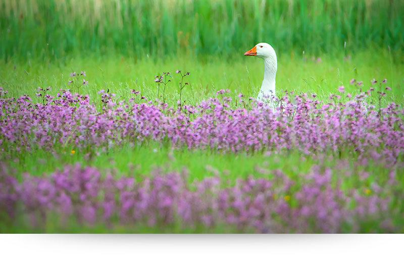 Cozy Goose