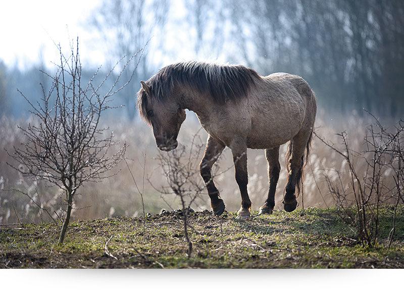 Konik Stallion
