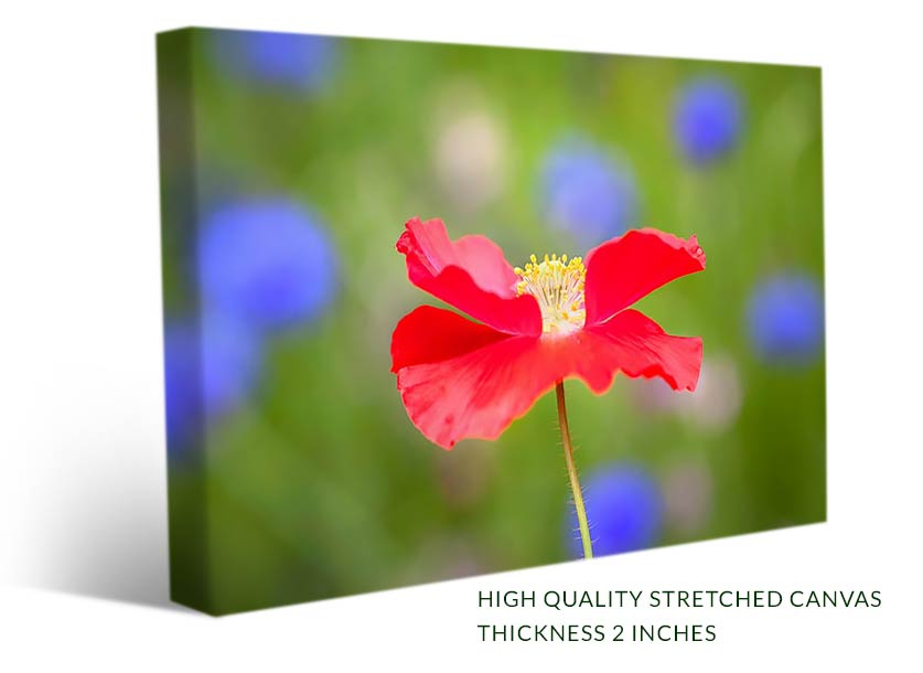 Red poppy with blue flowers in background wall art canvas print beautiful red poppy flower photo on canvas print mightylinksfo