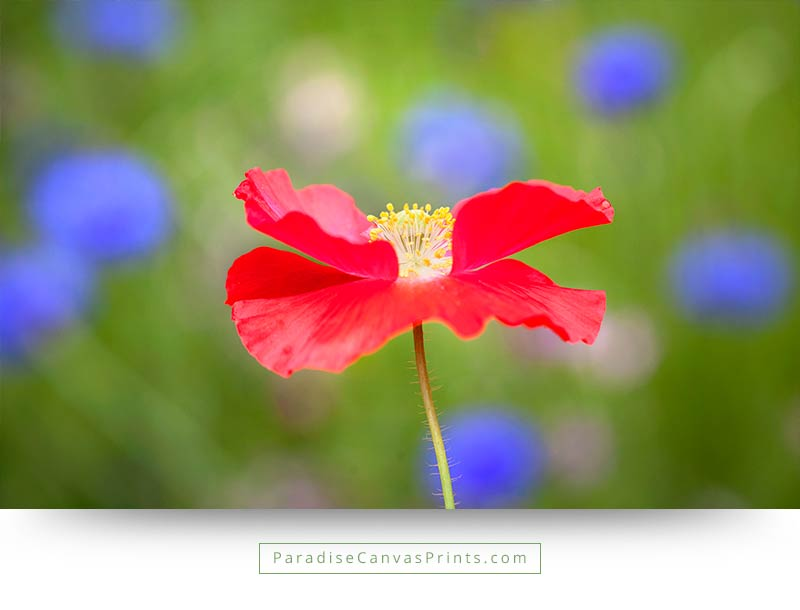 Red poppy with blue flowers in background wall art canvas print flower wall decor and canvas prints red poppy with blue flowers on green background mightylinksfo