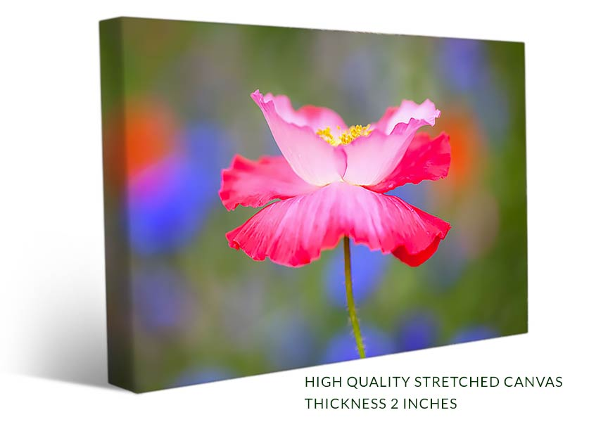 Dreamy pink poppy flower wall art canvas print paradise canvas buy a large flower photo on canvas print of a beautiful pink and red poppy mightylinksfo