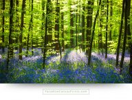 landscape canvas prints picture-forest wildflowers purple spring