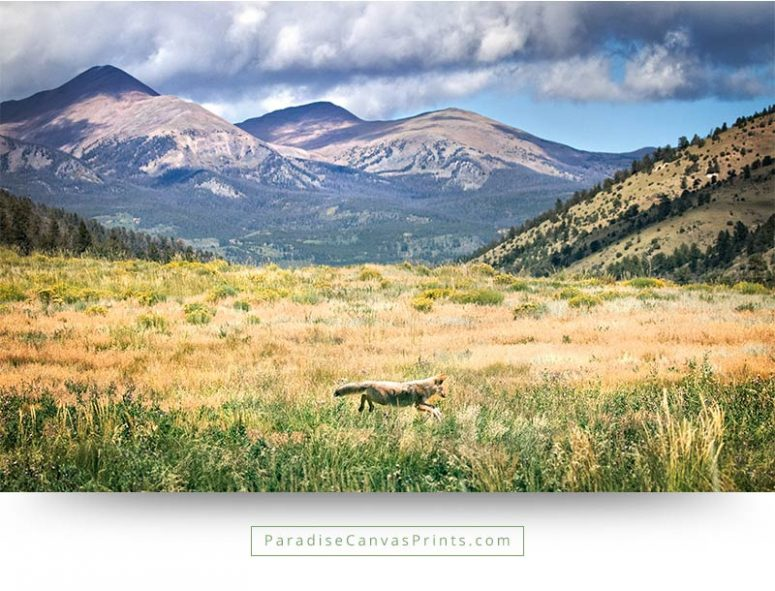 buy large wildlife canvas prints coyote mountains colorado