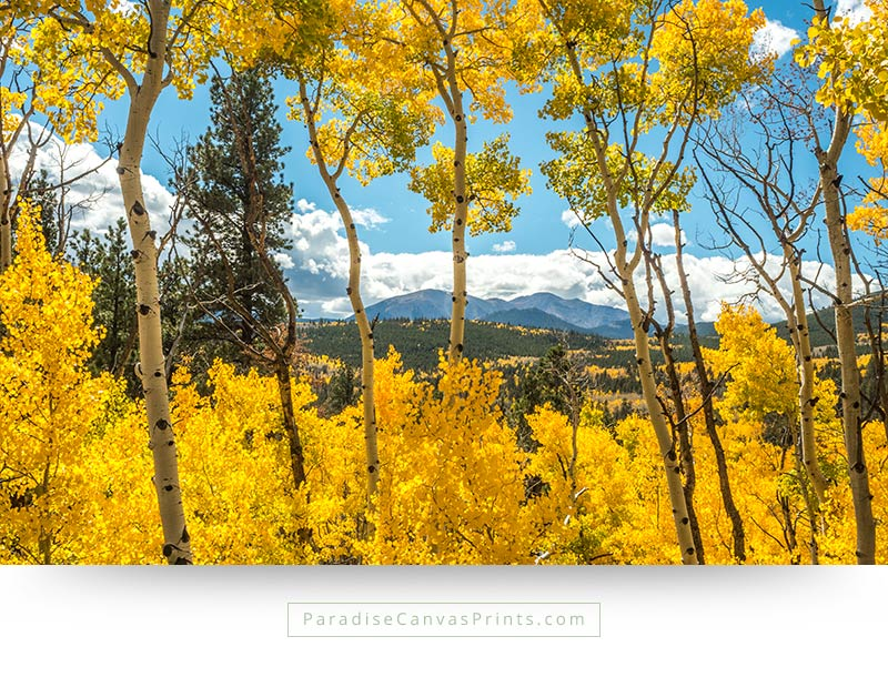 Aspen Trees In Fall Colors On Monarch Mountain - Wall Art, Canvas ...