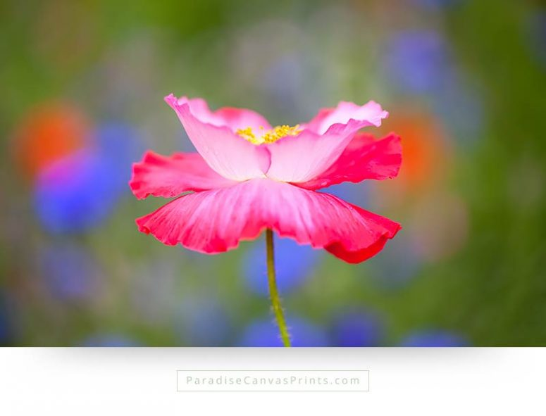 Flower canvas prints - Pink poppy on green background