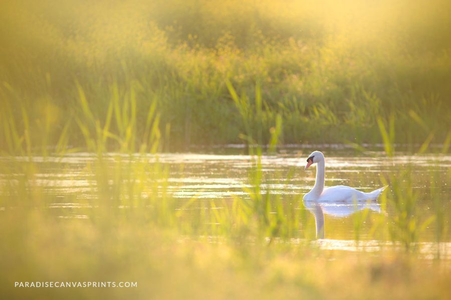 Beauty of swans photography