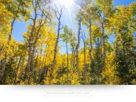 Buy this large landscape canvas print of an aspen forest in bright fall colors, in Colorado.
