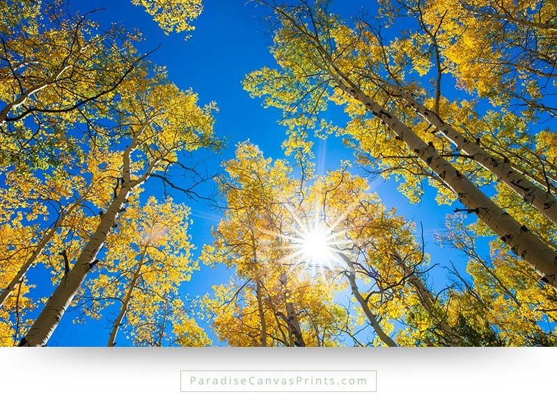 Colorado wall art of aspen trees in fall colors, with sunlight and a blue sky
