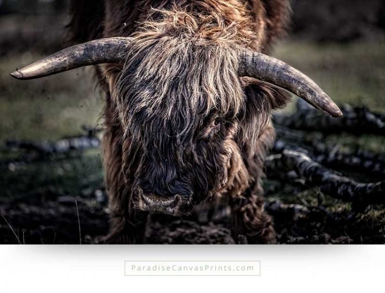 Wildlife canvas print photo of a Scottish Highland bull
