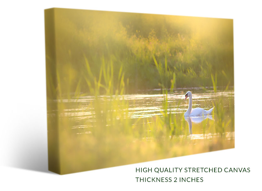 Swan With Romantic Sunset - Wall Art, Canvas Print - Paradise Canvas ...