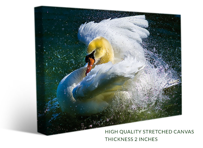 Stretched bird canvas print of a beautiful swan bathing
