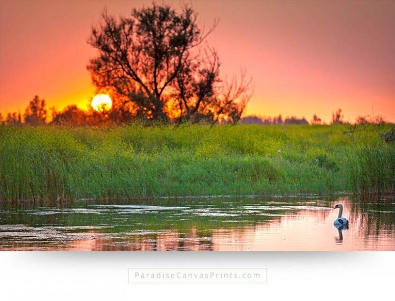 Bird canvas print of a beautiful swan at sunset
