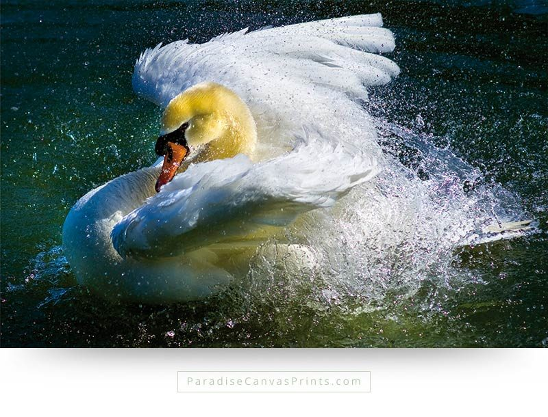 Canvas print showing the beauty of a bathing swan