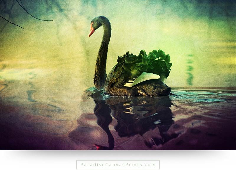 Photography of swan beauty - A black swan
