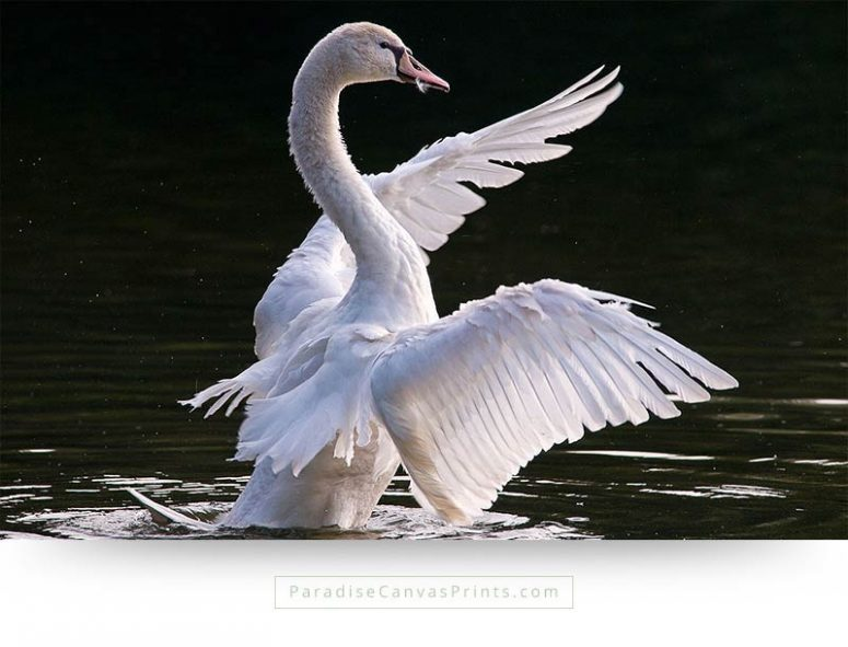 Bird canvas print of the beauty of a white swan