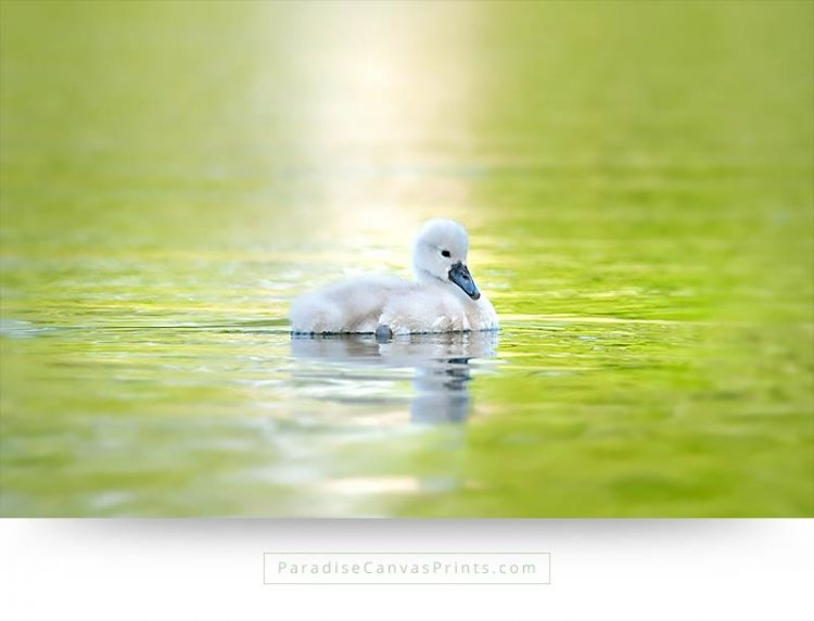 Bird canvas print and wall art - A beautiful swan chick in water