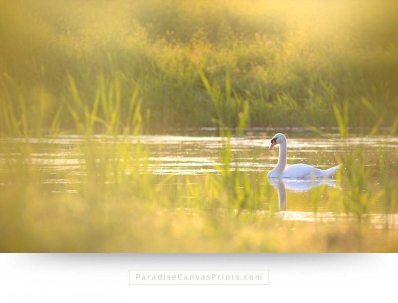 Beautiful swan with romantic sunset - Bird canvas print and wall art
