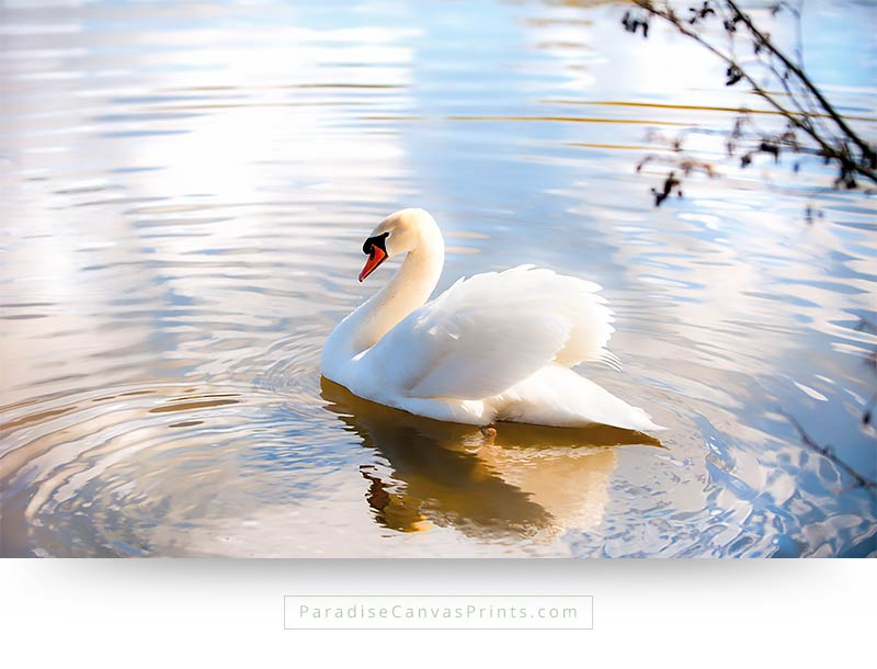 Swan beauty photography on canvas print