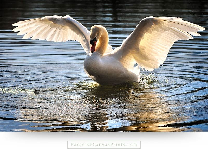 Bird canvas print and wall art of a swan with open wings