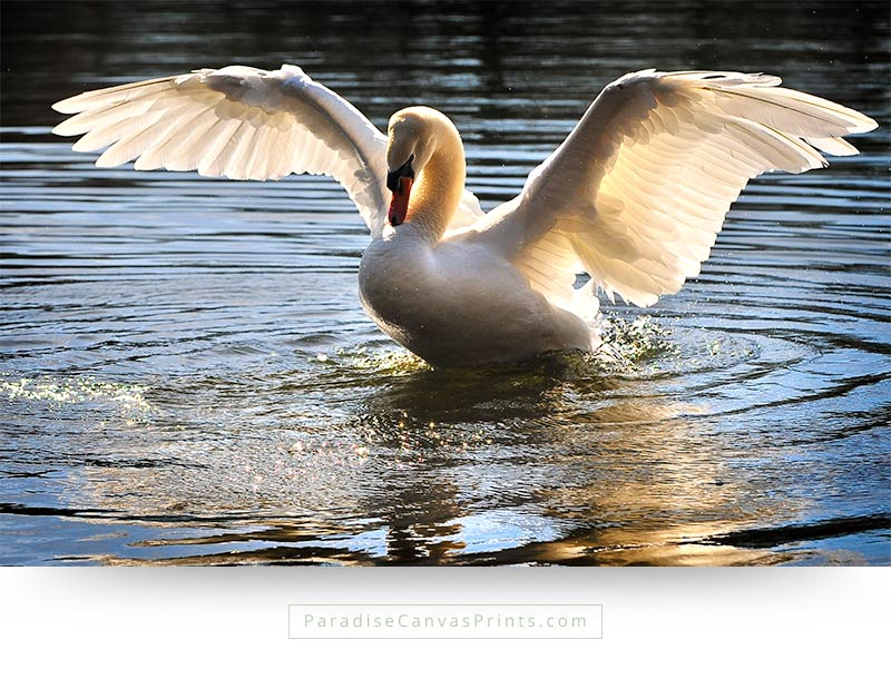 Swan beauty photography - Swan with open wings