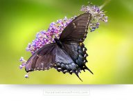 Photograph of a tiger swallowtail butterfly on canvas print
