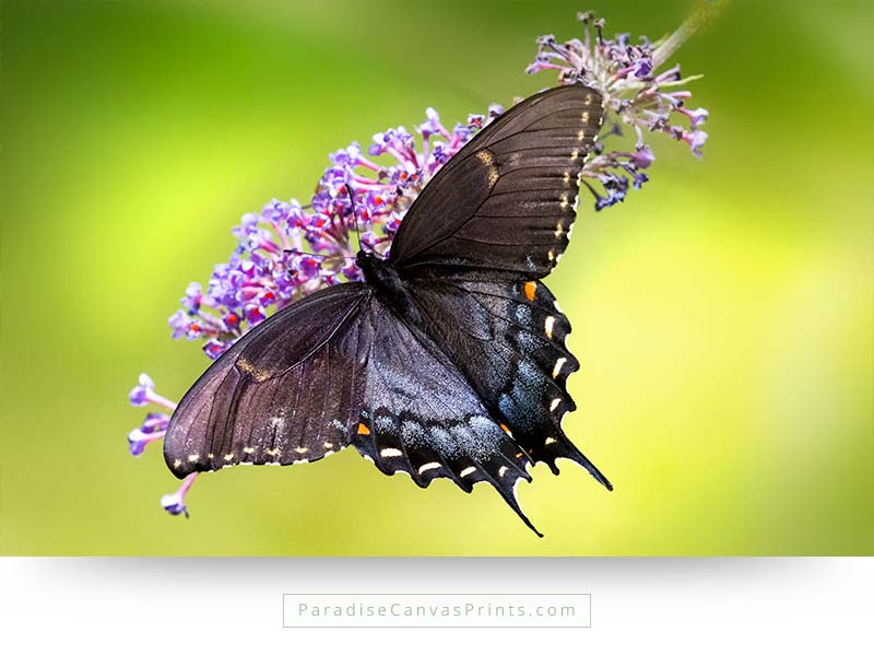 Tiger swallowtail butterfly - Wall Art, Canvas Print - Paradise ...
