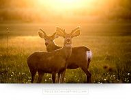 Wildlife canvas print - Photo of wild deer in Colorado at sunset