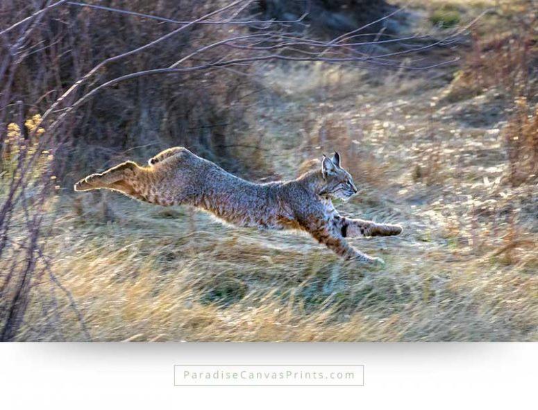 Photo of a wild lynx - Wildlife animals on canvas prints